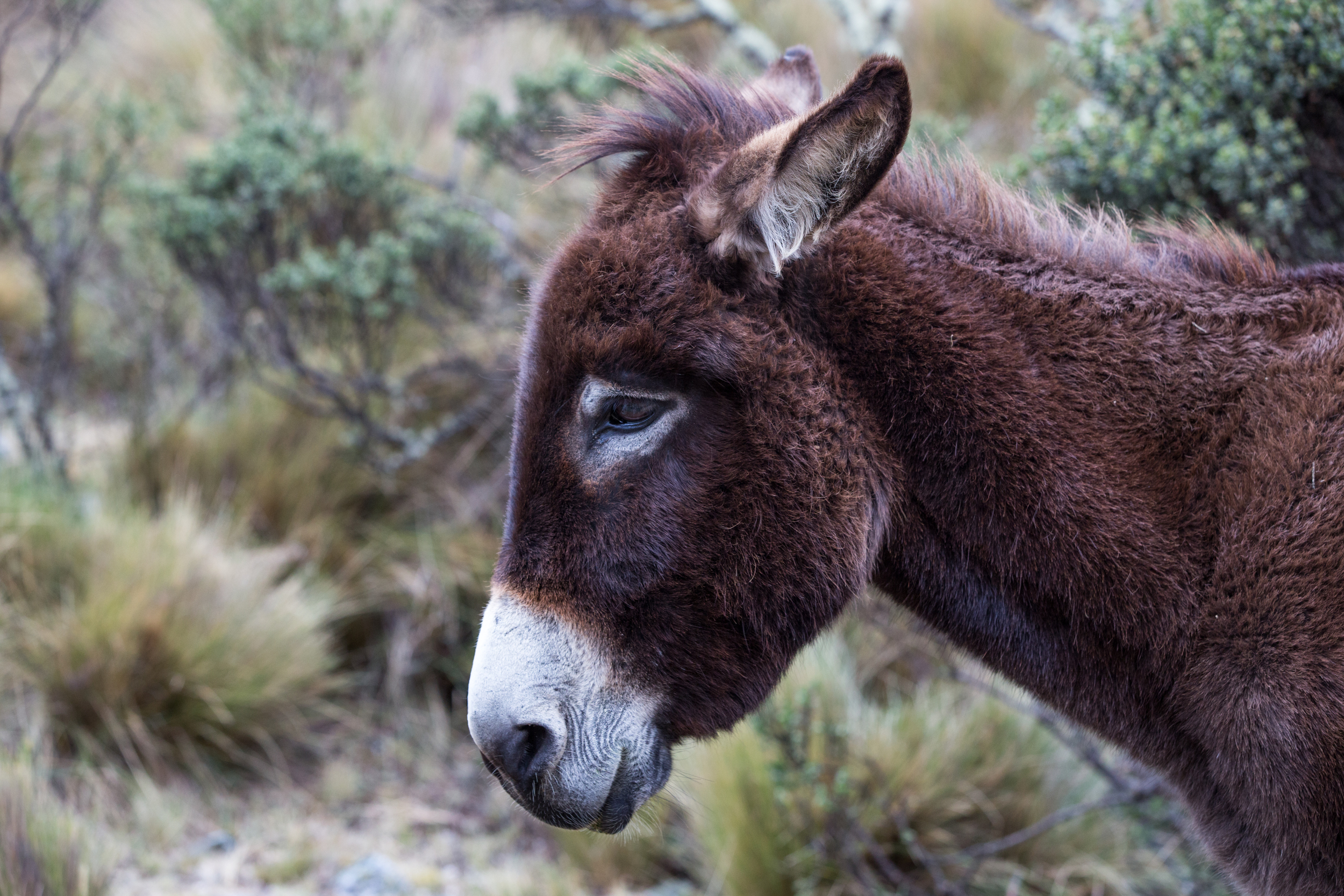 Brown donkey