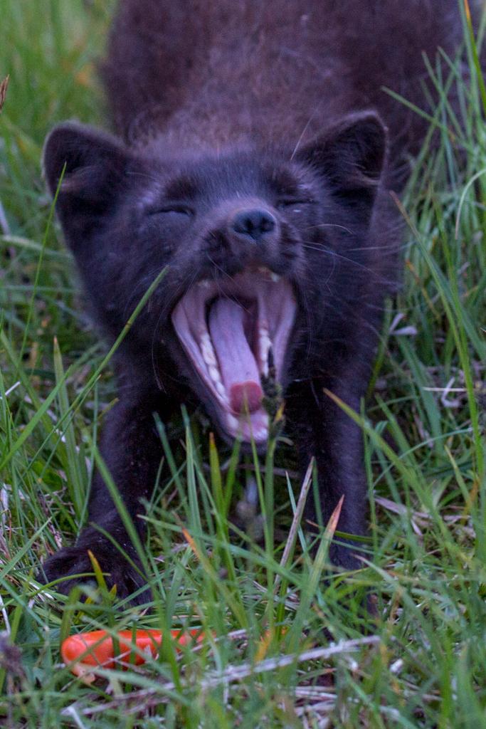 Close-up: Arctic fox with hotdog