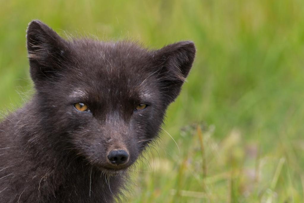 Close-up: Female arctic fox