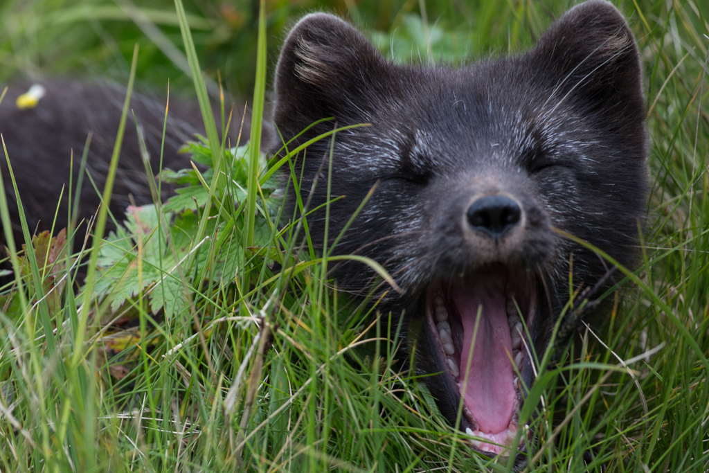 Close-up: Arctic fox with open mouth