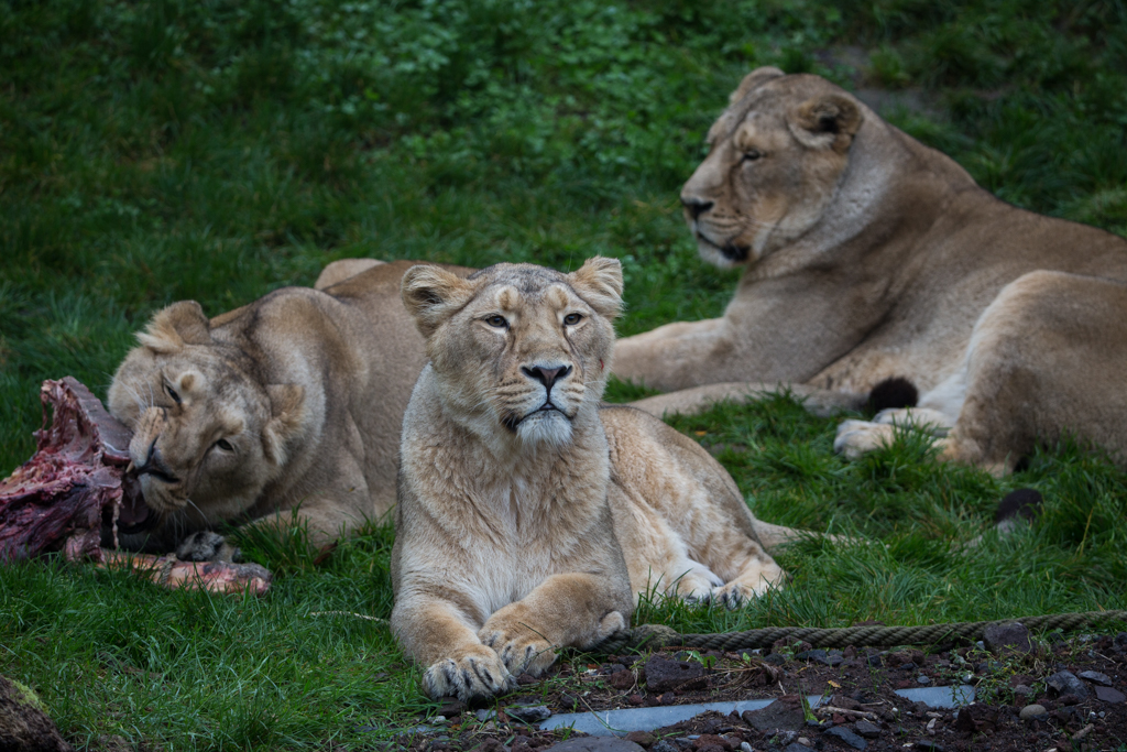 Hungry lions in Zurich Zoo