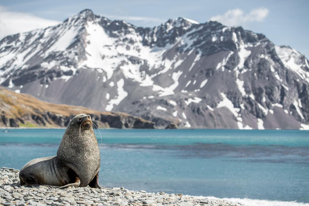 Seal on stony beach in South Georgia