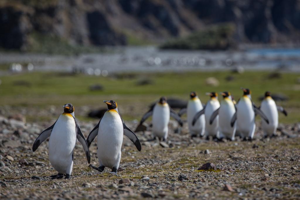 Group walk of King Penguins