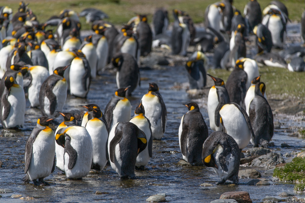 King penguins standing in a creek