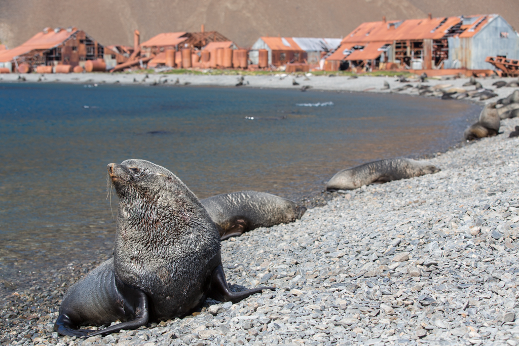 Seal on the beach of Stromness