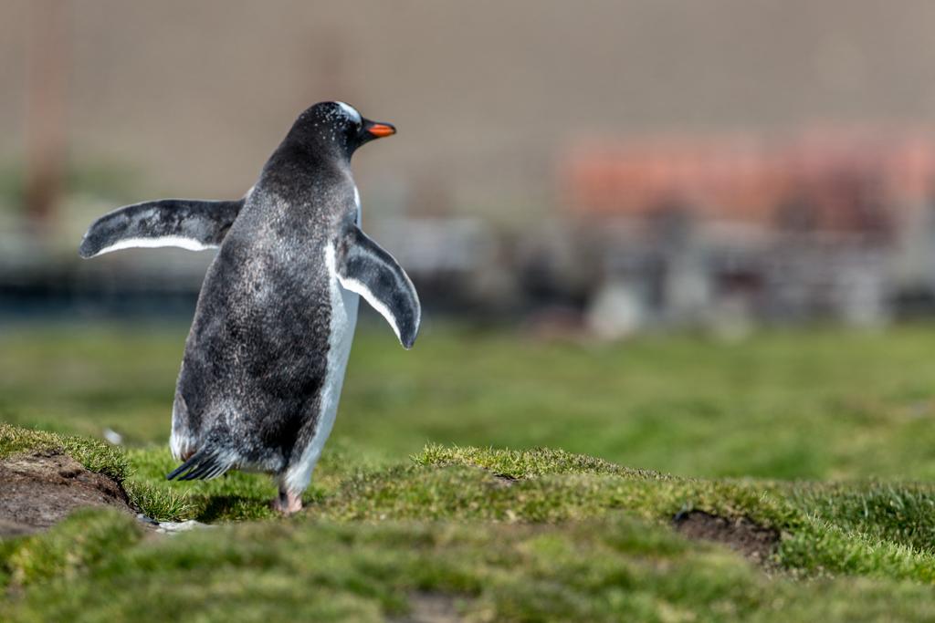 Gentoo penguin in Stromness