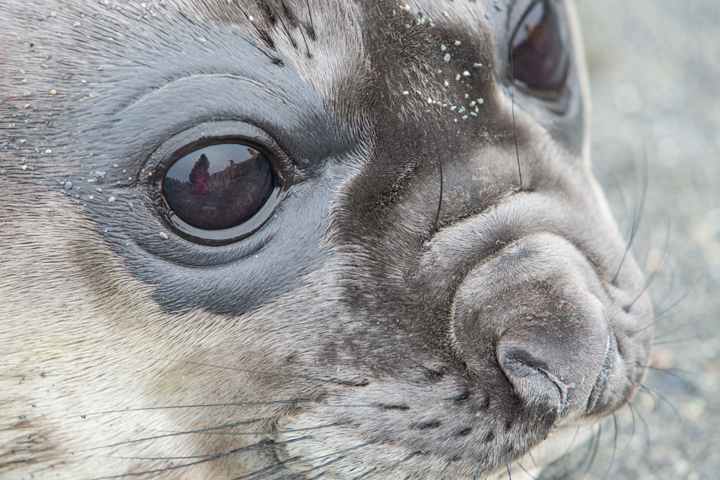 Mirroring eye of a little seal