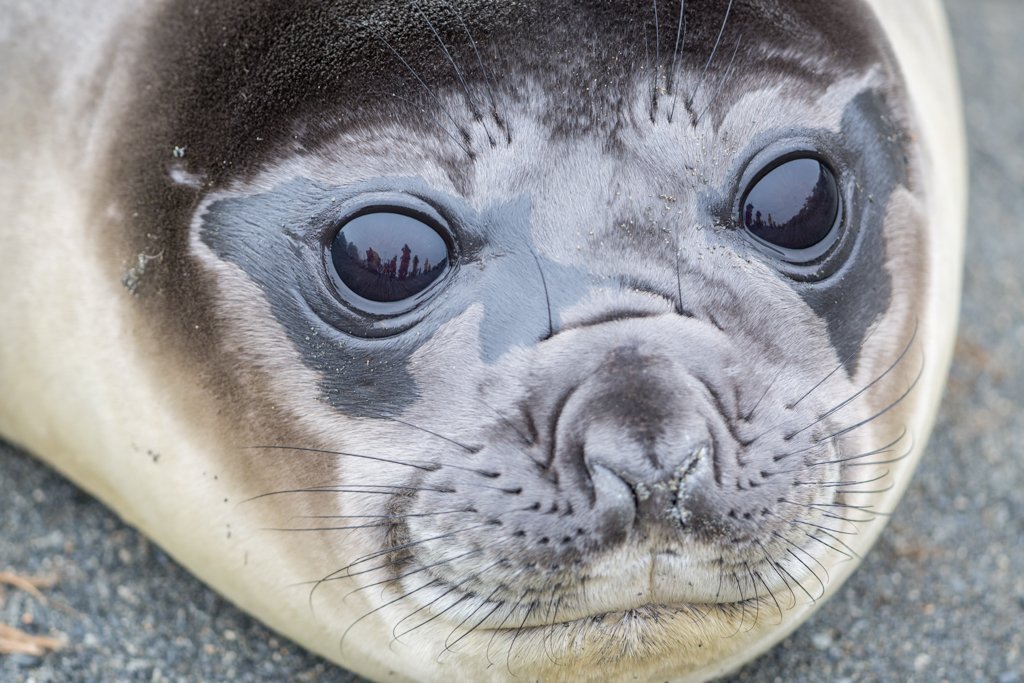 Close-up of little seal