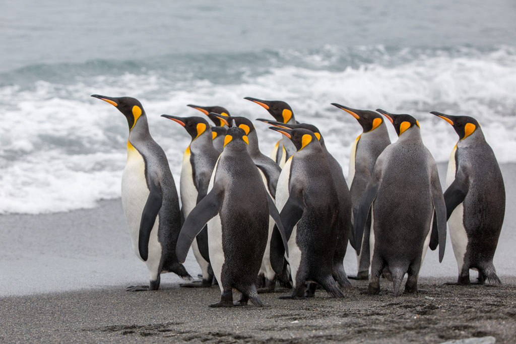 King Penguins on the way to the sea