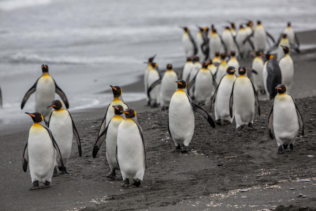 Beach full of King Penguins