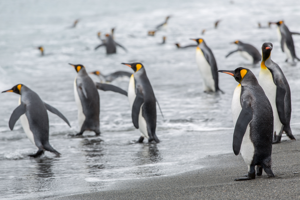 King Penguins on the way into the ocean