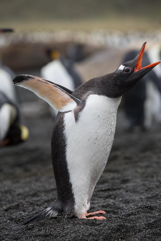 Crying Gentoo Penguin