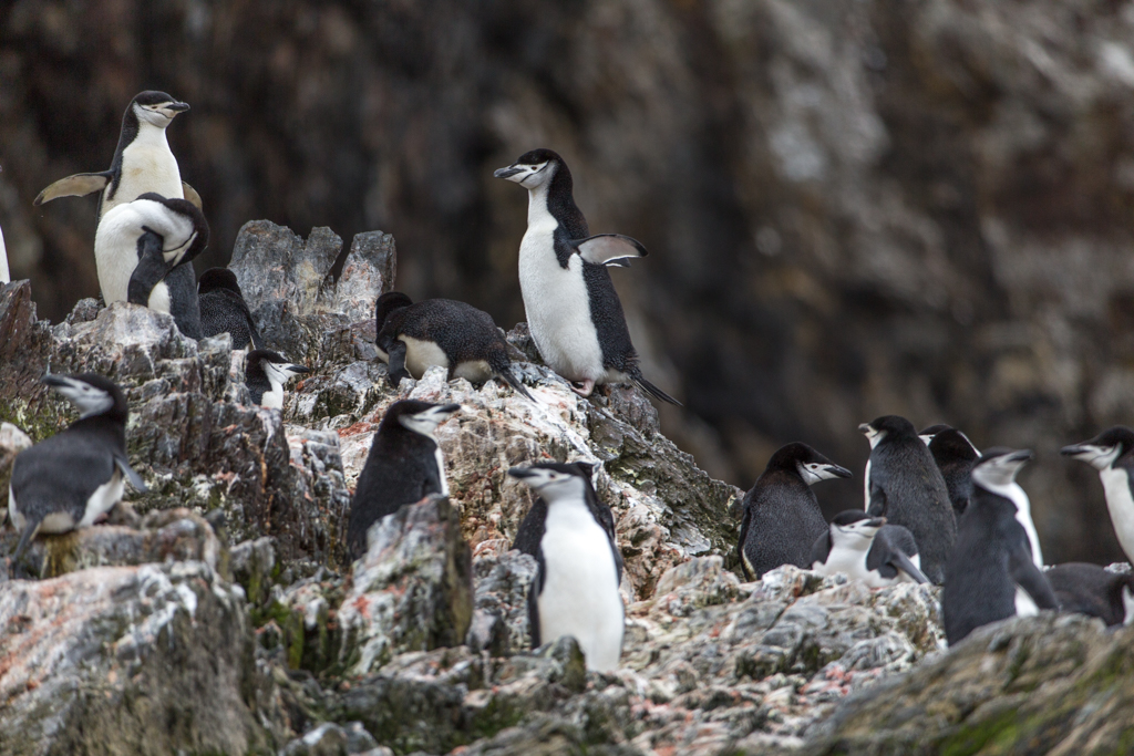 Chinstrap Penguin Colony on a rock