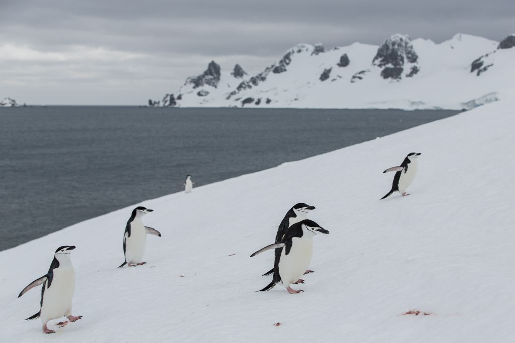 Chinstrap Penguins coming from the sea