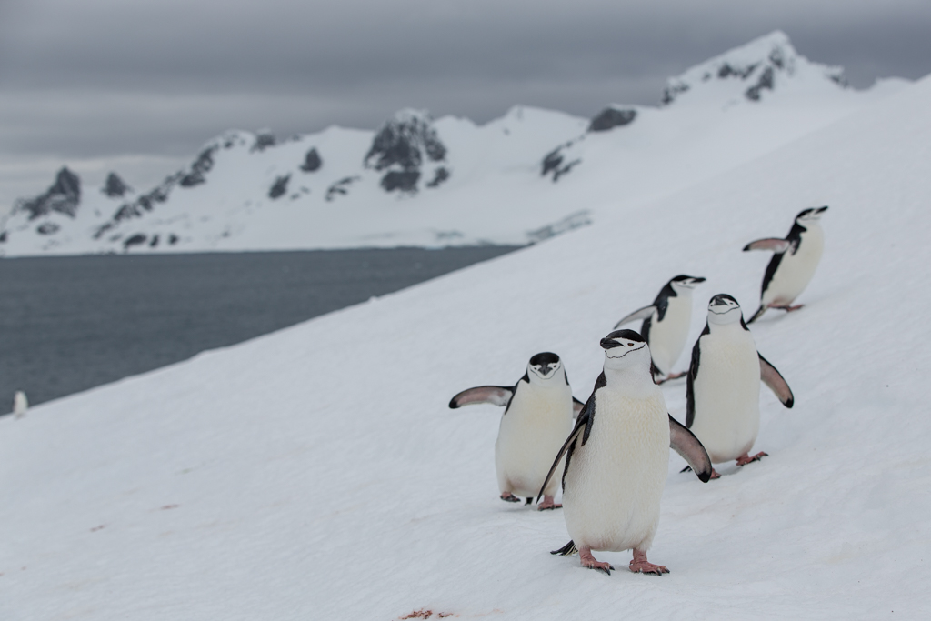 Group of Chinstrap Penguins