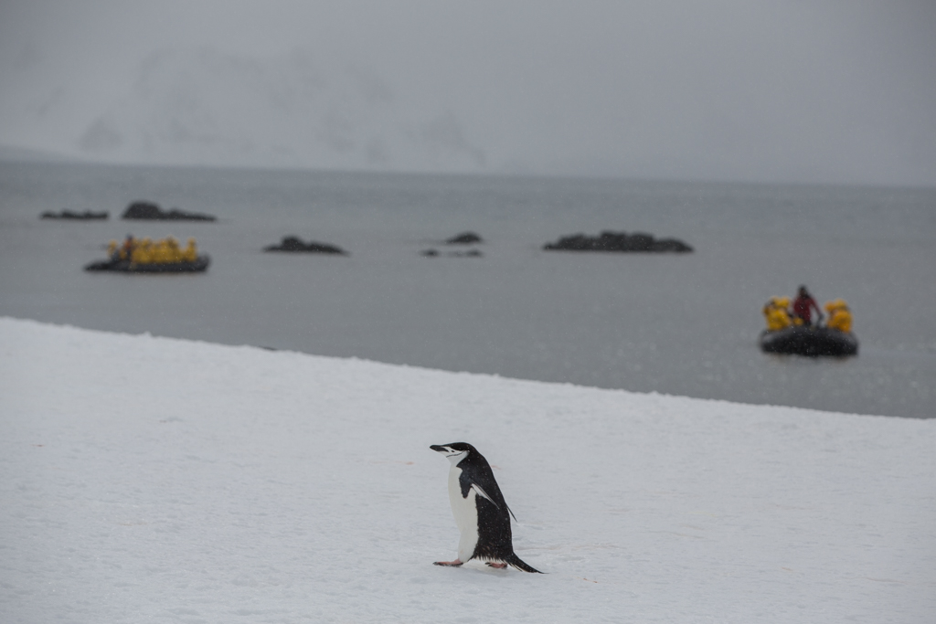Single Chinstrap Penguin