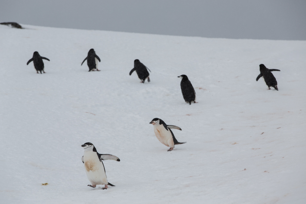 Formation of 7 Chinstrap Penguins