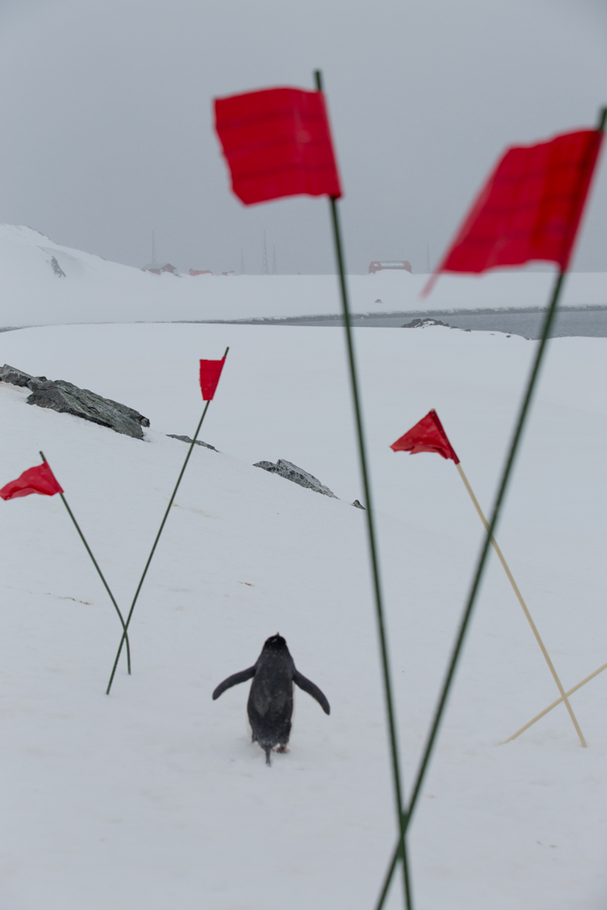 Chinstrap Penguin among red flags
