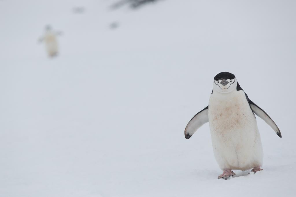 2 Chinstrap Penguins