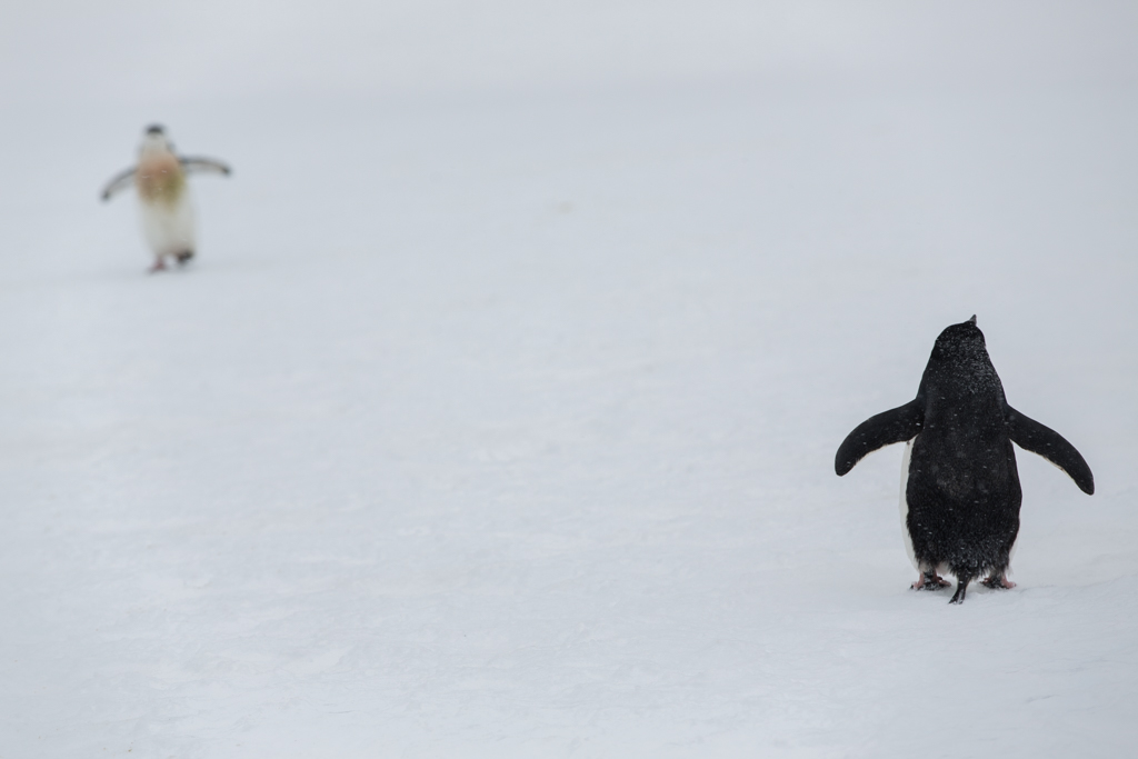 Black and white Chinstrap Penguin