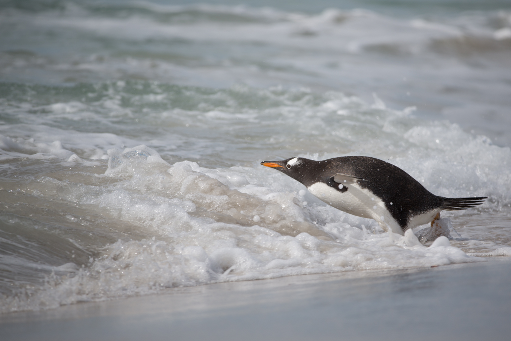 Gentoo Penguin jumping into the water