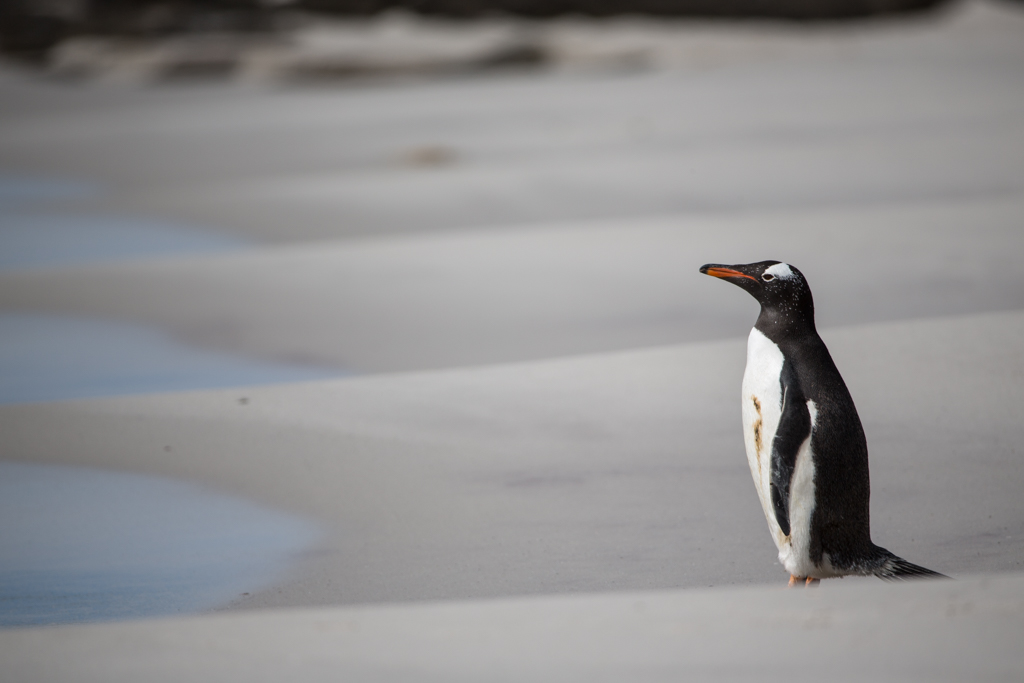 Lonely Gentoo Penguin on the beach