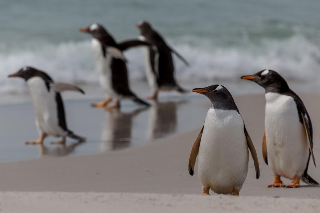Gentoos on a beach