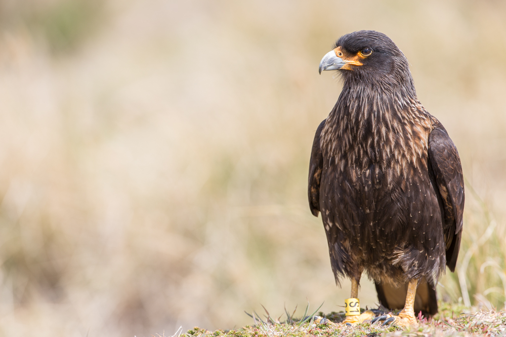 Bird of prey on the Falklands