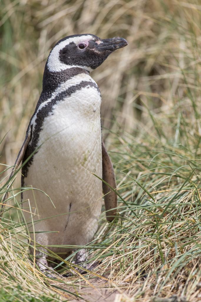 Magellan Penguin on the Falkland Islands