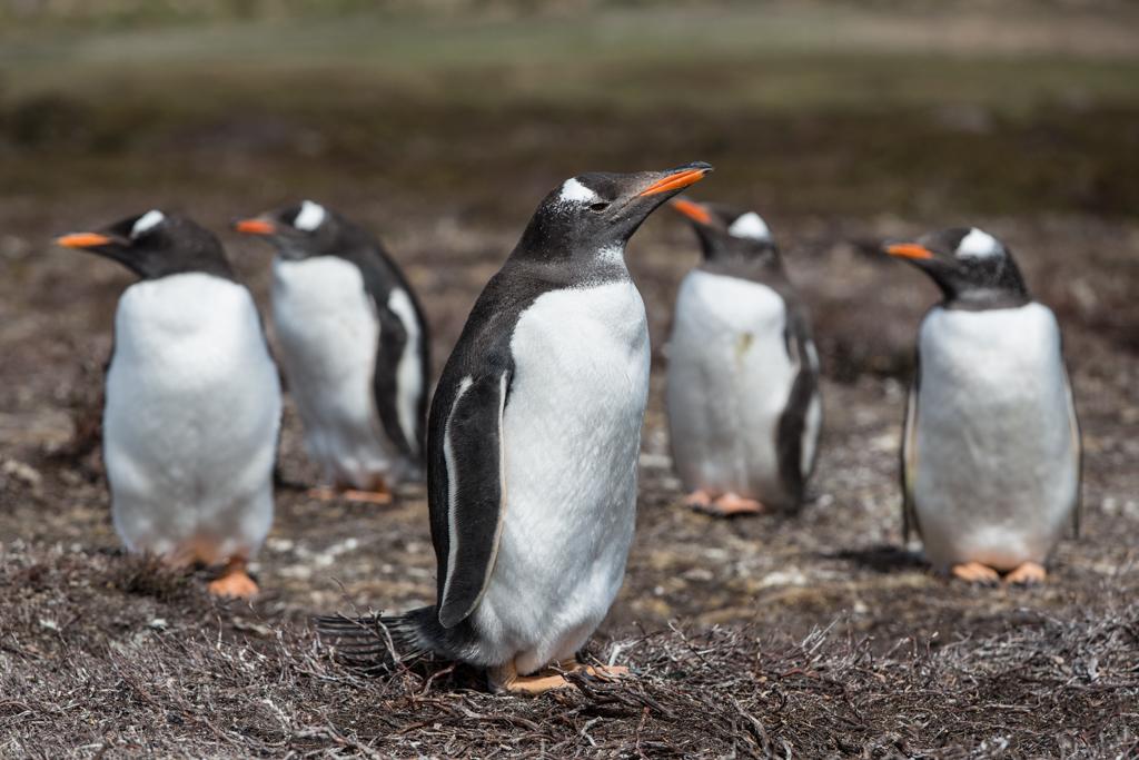 Group of Gentoo Penguins