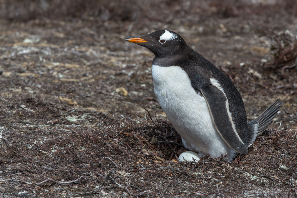 Nesting Gentoo Pinguin