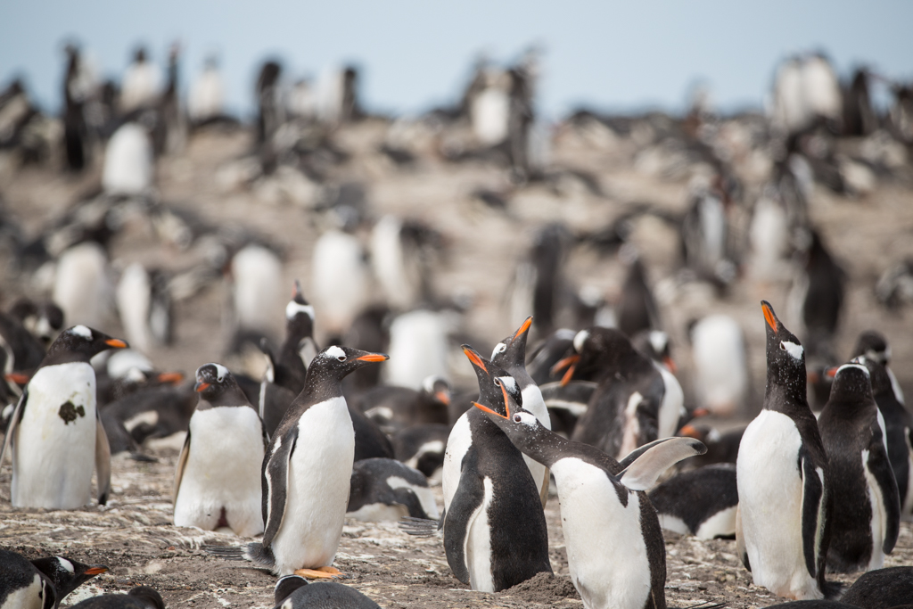 Penguin colony on the Falklands