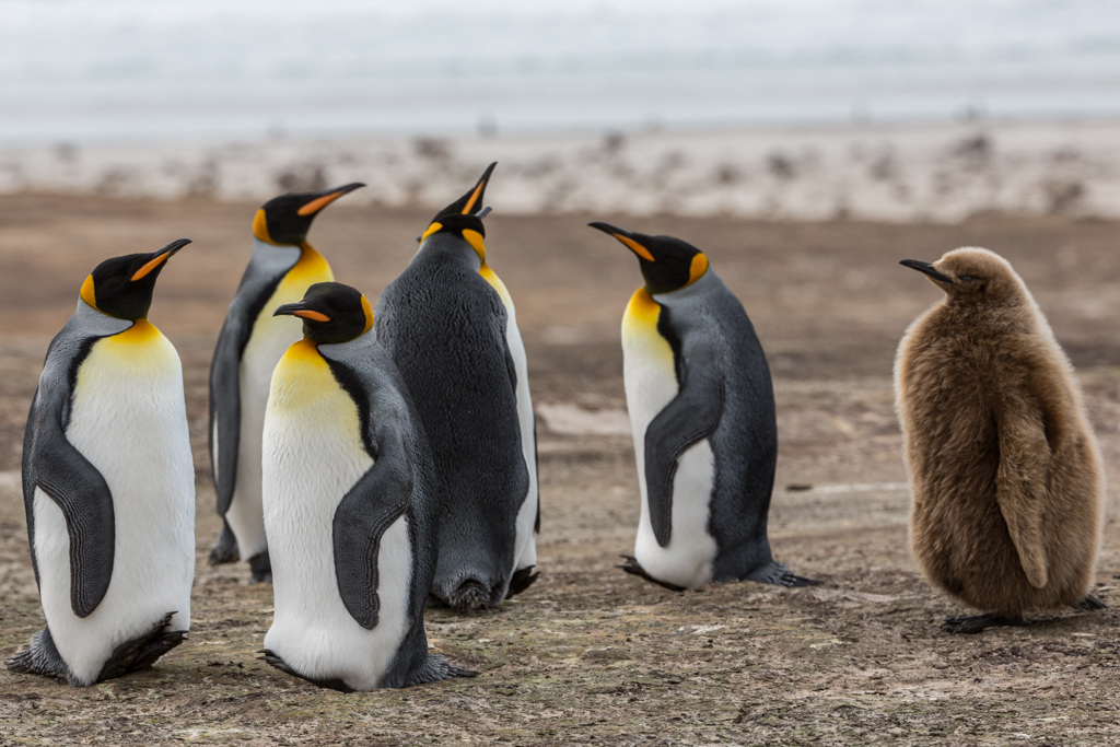 Adult King Penguins with one little chick