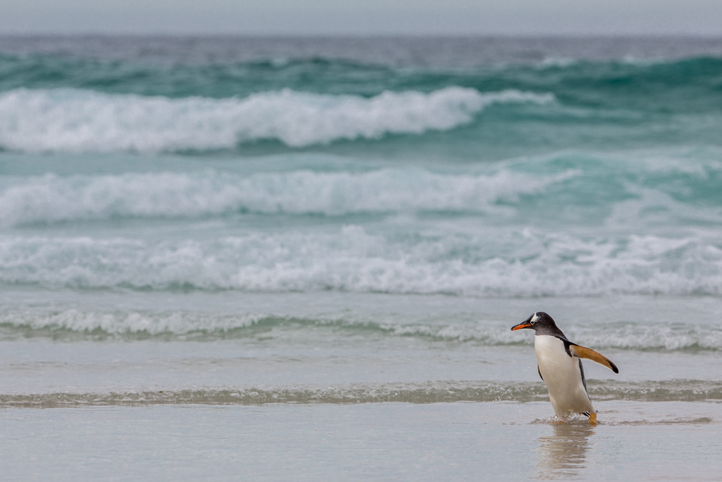 Gentoo Penguin coming from the sea