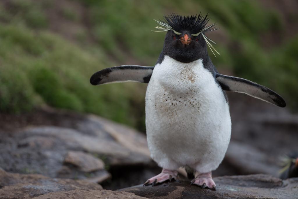 Close-up of Rockhopper Penguin