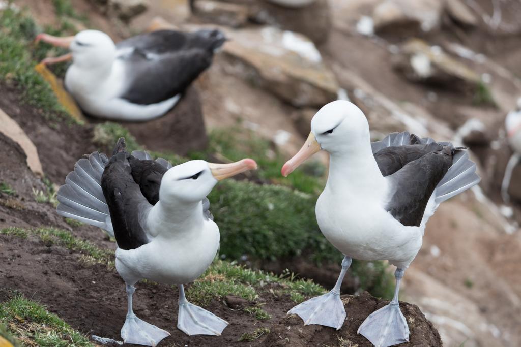 Courting Royal Albatrosses
