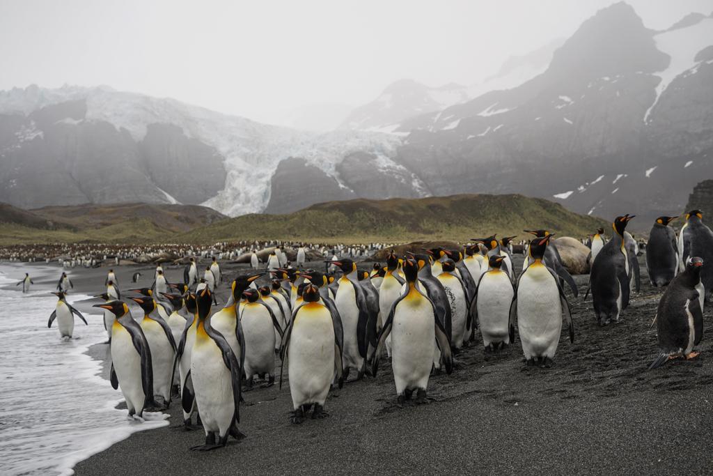Huge King Penguin colony