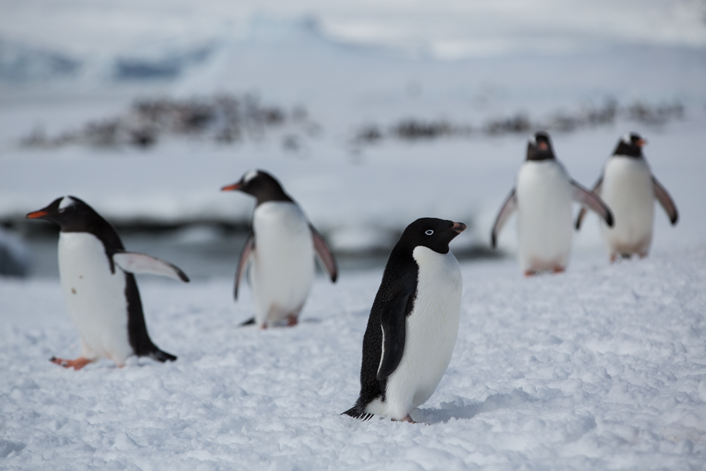Adelie Penguin among Gentoo Penguins