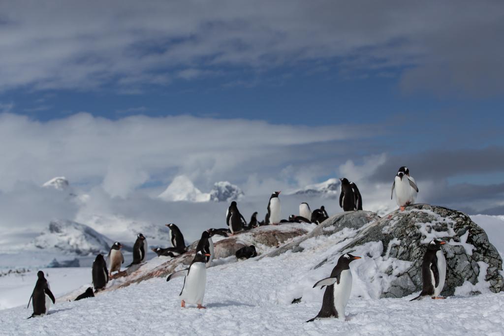 One Adelie Penguin