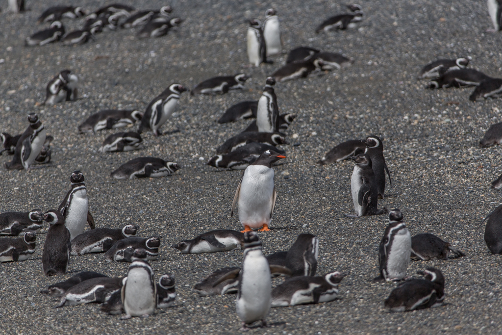 One Gentoo Penguin among Magellan Penguins