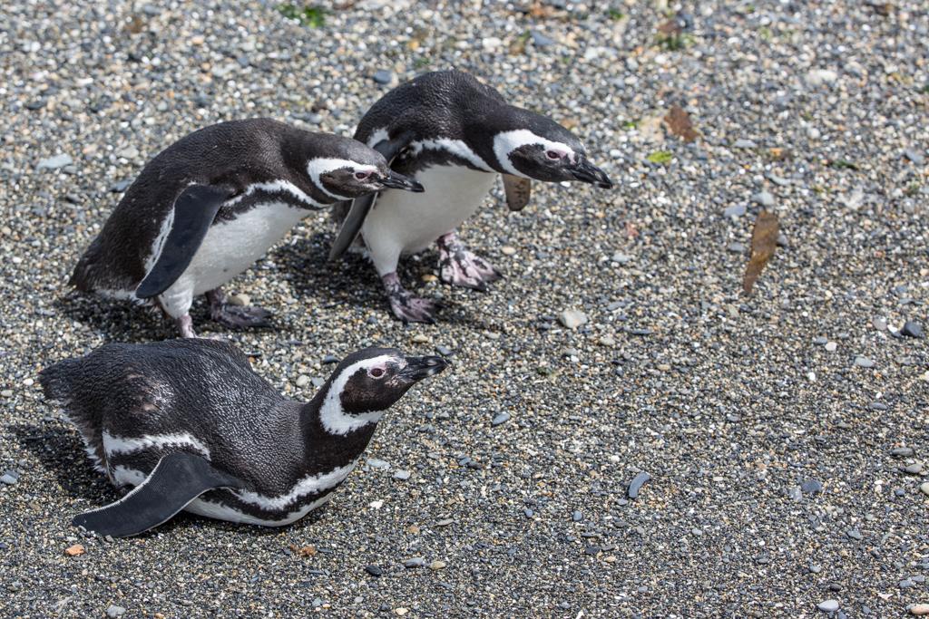 Magellan Penguins