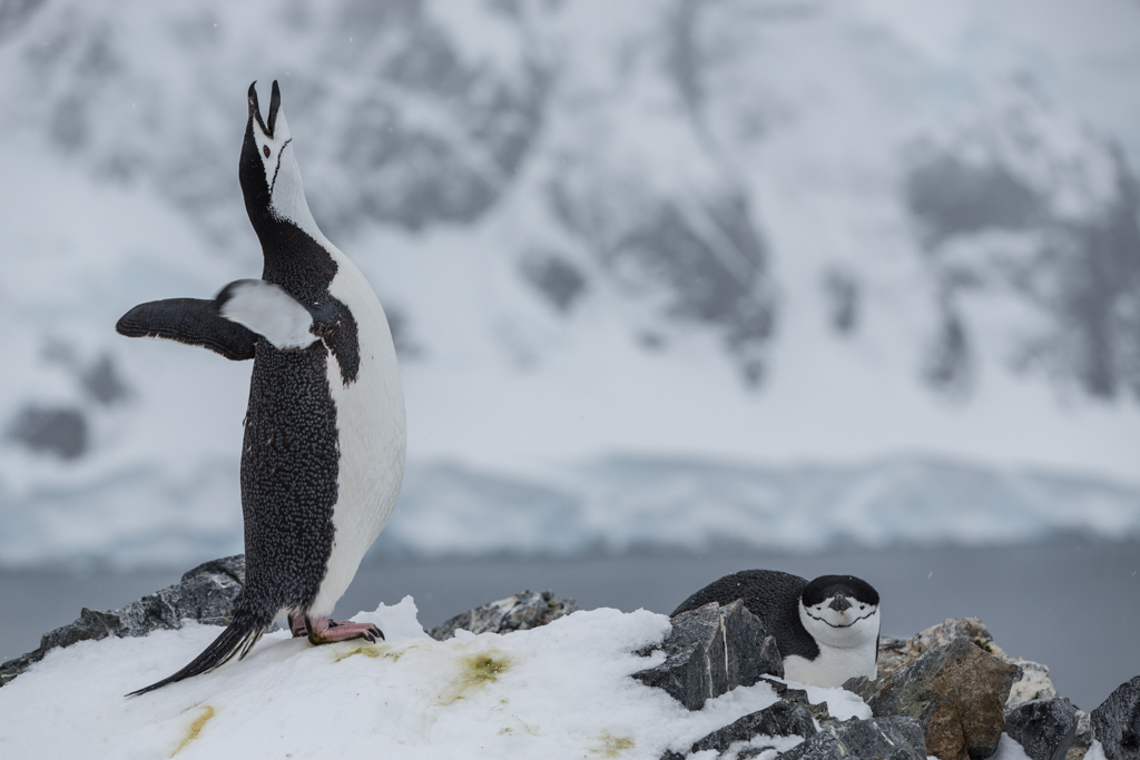 Crying Chinstrap Penguin