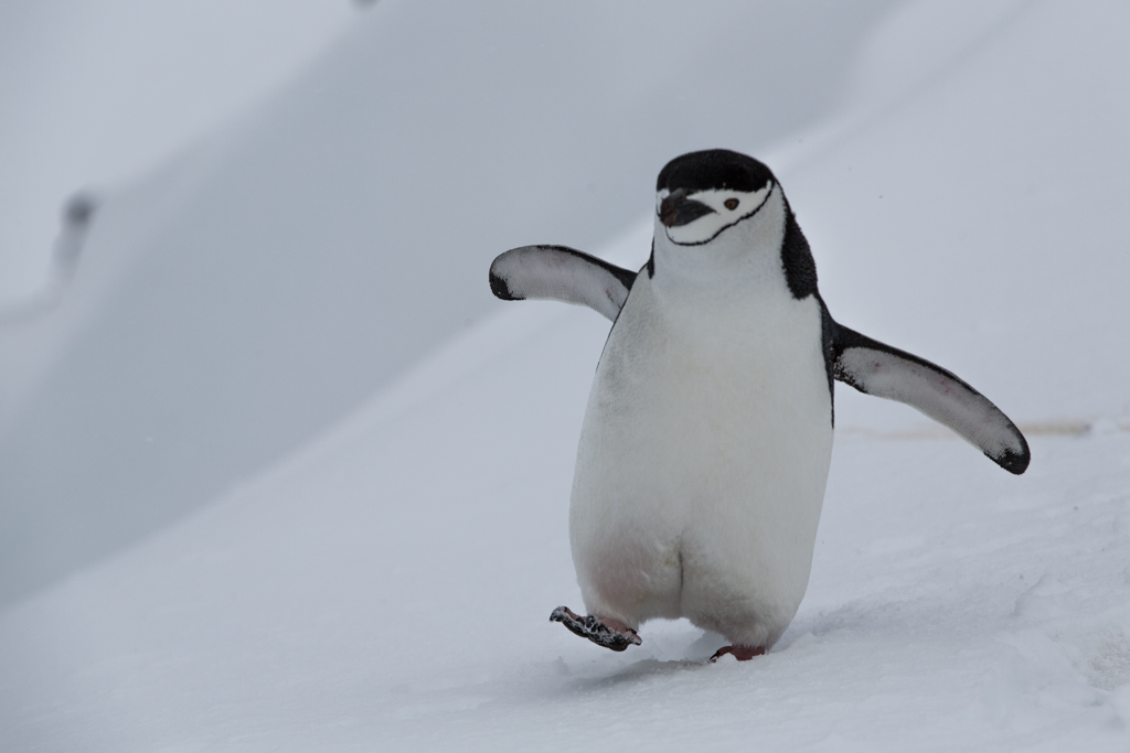 Chinstrap Penguin walking to the sea
