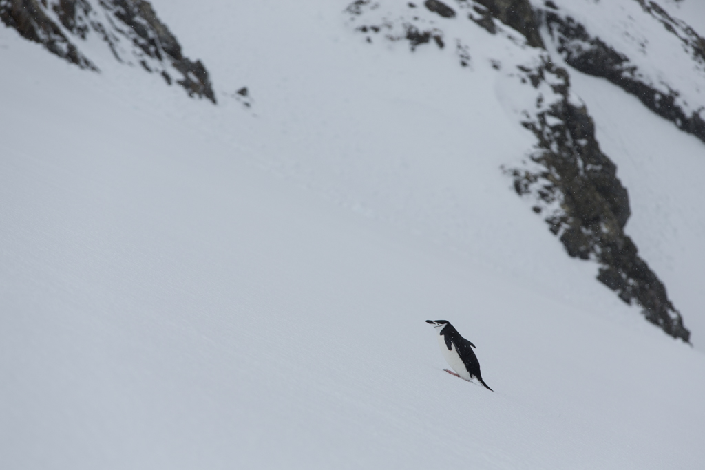 Chinstrap Penguin on a steep slope
