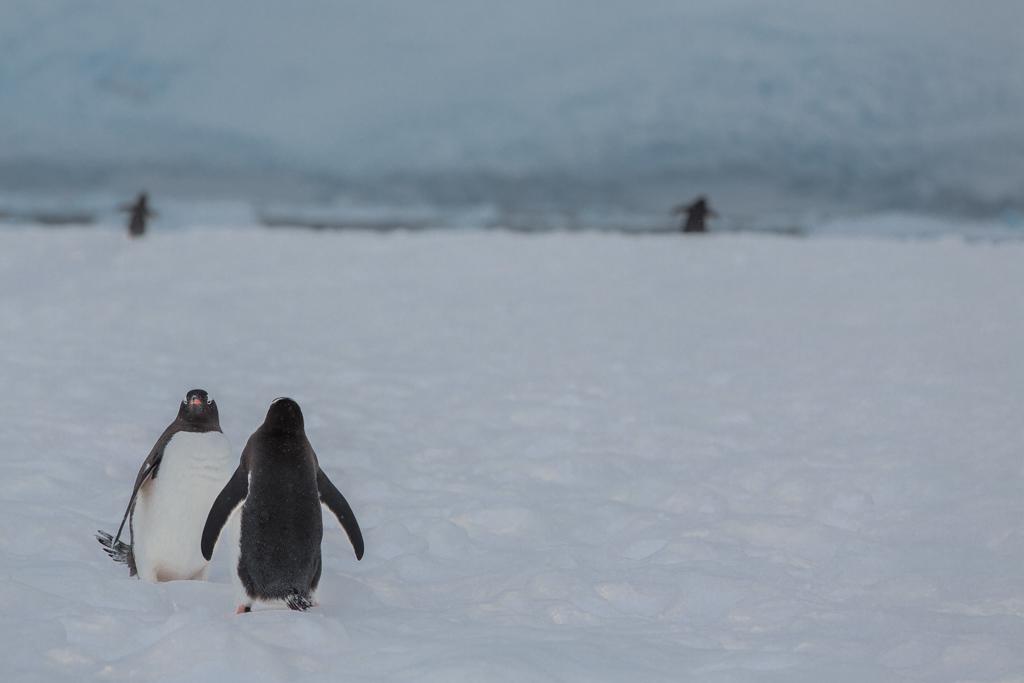 Gentoo Penguins walking in the snow