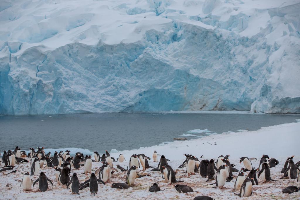 Gentoo penguins before a landing glacier