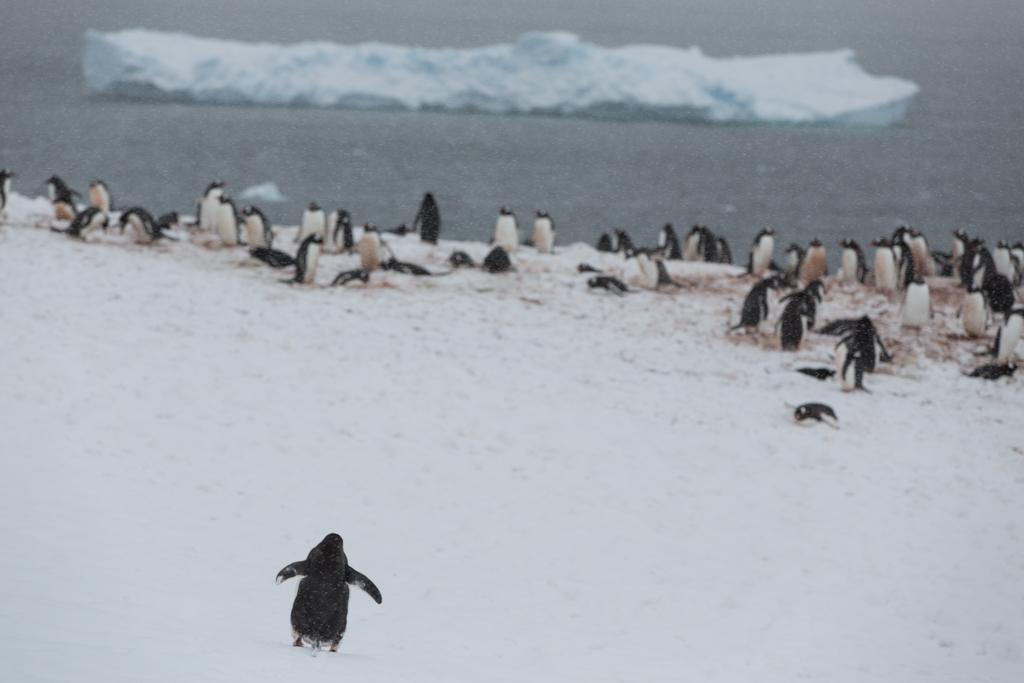Gentoo Penguin walking to colony