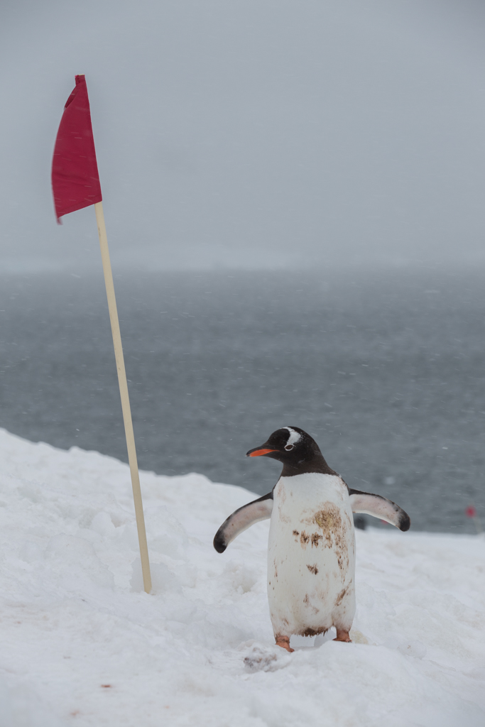 Gentoo Penguin inspecting red flag