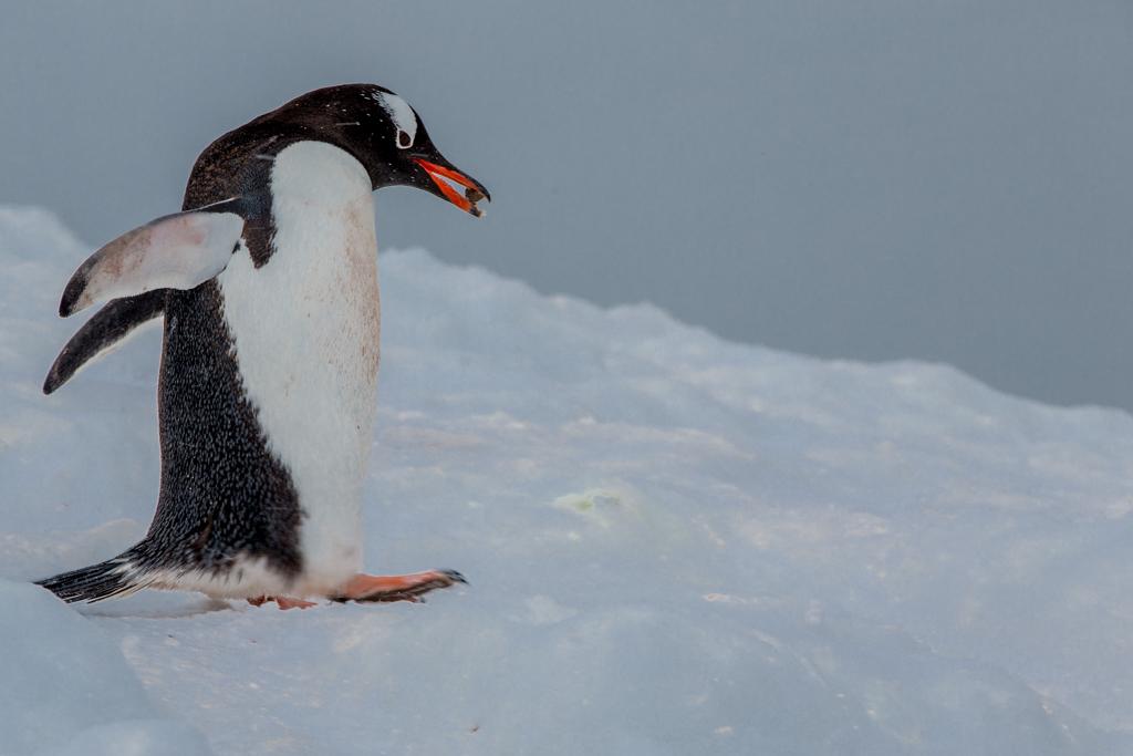 Gentoo Penguin with stone