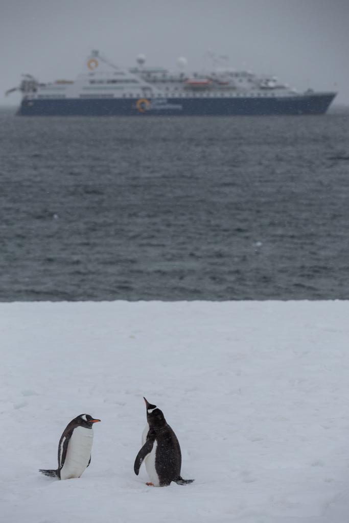 Couple of Gentoo Penguins
